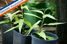 2 FOR 1 SALE! VIETNAMESE CORIANDER LAKSA LEAF ORGANIC RauRam Pers odorata Rooted