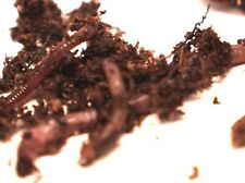 150 Red Wiggler Composting & Bait Sized Worms