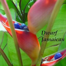 ~Dwarf Jamaican~ Heliconia stricta Brilliant RED Flowers Live small potted plant