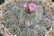 Gymnocalycium bruchi @ rare cactus seed cacti 20 Seeds