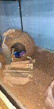 2 live Hermit crabs for sale- tank & supplies included