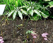 Arisaema consanguinem - Dragon Arum - 10 Fresh Seeds