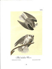 Black-Shouldered Elanus Vintage Bird Print by John James Audubon ABONA024