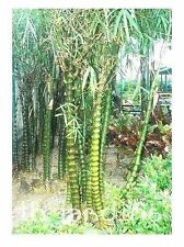 Buddha-Bauch Bambus , 5 Samen - Exotic Rarität - Winterhart