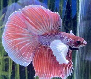 Male Crimson Dumbo Betta
