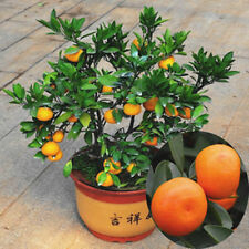 50X Edible Fruit Mandarin Citrus Orange Bonsai Tree Seeds Plants Garden Decor Be