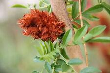 100 Graines de Reglisse , Licorice , 'Glycyrrhiza Glabra ' Seeds