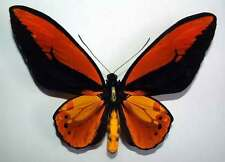 ORNITHOPTERA CROESUS TOEANTEI - unmounted VERY GOOD A-