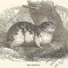Lemming: antique 1866 engraving print: rodent animal art nature picture wildlife
