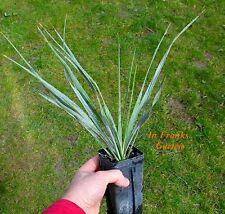 Winterharte Yucca rostrata, Palmlilie,bildet Stämme, ca. -15°C, getopfte Pflanze