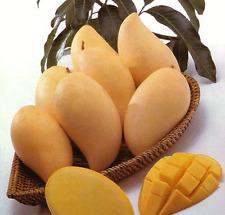 5 Fresh Seeds Thai Mango - Naam Dok Mai - Delicious Seeds From Thailand