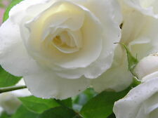 100 SEMI DI ROSA BIANCA - WHITE ROSE, 100 HIGH QUALITY SEEDS