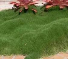 6x No Mow Korean Velvet Grass Zoysia tenuifolia groundcover plants in 100mm pots