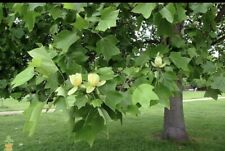 Tulip Poplar Tree | Bare Root Tree Seedling; 2-3ft, Free Smaller Tree Included