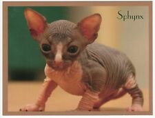Postcard Cute Sphynx Kitten Close View