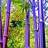 Lila Riesen -Bambus - Dendcalmus Stritus Baum Garten Deko sehr Farbintensiv