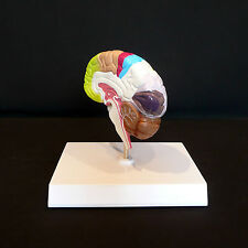 Anatomical Human Brain Cross-Section Model - Medical Anatomy
