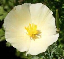 IVORY CASTLE CALIFORNIA POPPY FLOWER 100 FRESH SEEDS FREE USA SHIPPING