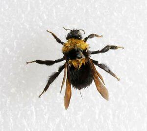 Real Bombus terrestris bumblebee School Science Project DRYED SPECIMEN INSECT