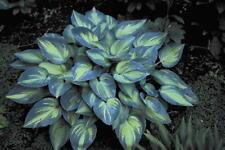 Hosta June® AGM sent out ex 13cm, good slug resistance, very good garden plant
