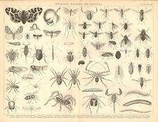 1874 PRINT ~ ENTOMOLOGY ~ TIGER-MOTH CATERPILLAR CENTPEDE LOUSE SPIDER FLY etc