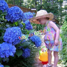 50pcs Blue Hydrangea Flower Seeds Rare Flower Seeds Garden views
