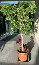 Ficus Benjimina (Weeping Willow) Includes Pin Wheels (purple plants)