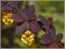 15 Semillas de Agracejo Rojo (Berberis vulgaris)