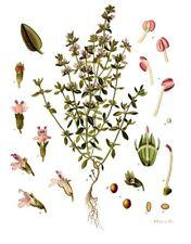 200 Samen Echter Thymian - Thymus vulgaris - wertvolle Gewürz und Heilpflanze