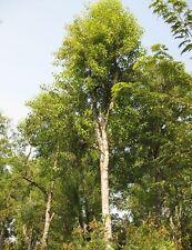 200 fresh Seeds Santalum album Sandal wood tree Rare