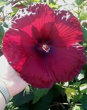 Beautiful Red Hardy Hibiscus! 10 Seeds!  COMB S/H! SEE OUR STORE!