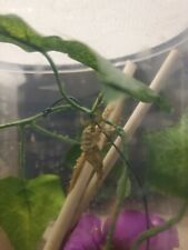 L3-L4 Ghost Praying Mantis Phyllocrania paradoxa