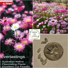 40 EVERLASTING SEEDS(Rhodanthe chlorocephala ssp rosea);Fascinating Native Plant