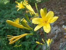 Hemerocallis lilioasphodelus bareroot plant