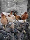 Buy 8 get 2 Hatching Eggs. Barnyard mix. NPIP & AI clean. Free range, CAGE FREE
