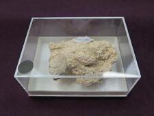 fósiles,cangrejo, Xantho moldavicus,crab,krabben,crabes,cranc