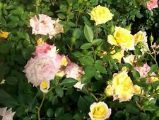 Rainbows End Yellow Red Miniature Rose 2 Gal. Live Plants Plant Fragrant Roses !