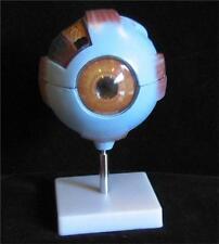 Giant Size Human Eye Anatomical Skeleton Model medical
