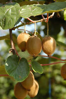 exotische Blüten Rarität Saatgut seltene Garten Balkon Pflanze KLETTERKIWI