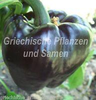 🔥 🌶️ Paprika schwarz rund aus Russland 10 frische Samen ** frühe Sorte