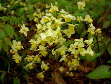 Epimedium versicolour Sulphureum perennial plant ideal ground cover 9 pot