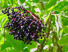 BLACK ELDER - 140 SEEDS - Sambucus nigra - Berries tree - good for bonsai
