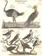 Ornitologia: STRUZZO; Alberto; FLY-catcher, rondine; titmouse; Tanagra; deliciosus; 1830