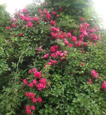 Hot pink old fashion climbing rambling rose hardy perennial live plant