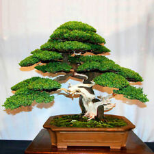 50pcs Rare Japanese black Pine Bonsai Seeds Fresh Air Plant Home Garden
