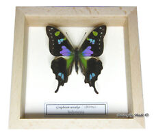 REAL MOUNTED FRAMED BUTTERFLY - Graphium weiskei - PURPLE SPOTTED SWALLOWTAIL