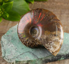 Rainbow Opalized AMMONITE Fossil - One Medium Ammonite Shell Fossil E0423
