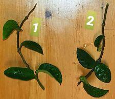 """Hoya carnosa """"Krinkle 8"""" - frische Stecklinge 3 Blattachsen"""