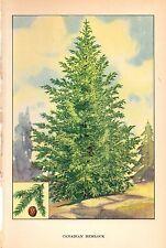 "1926 Vintage TREES ""CANADIAN HEMLOCK"" GORGEOUS COLOR Art Print Lithograph"