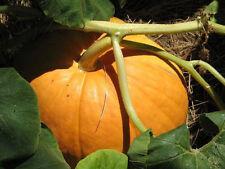 Vegetable Seeds - BIG MAX (100 Pound!) PUMPKIN Cucurbita Maxima 5 Seeds